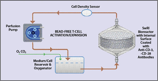 T-cell production process diagram